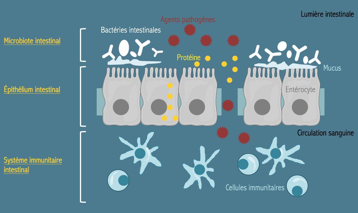 probiotiques inflammation