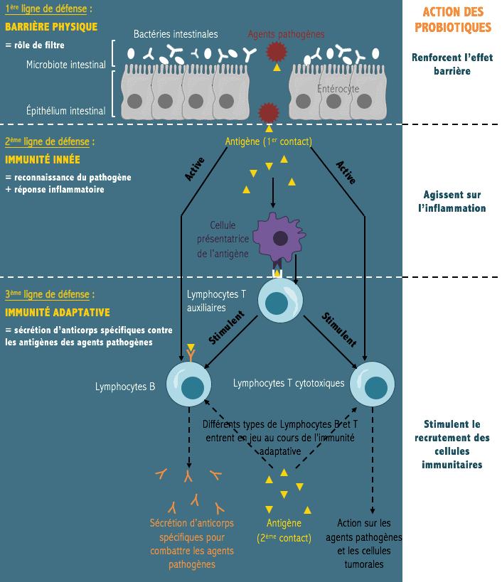 probiotiques immunité