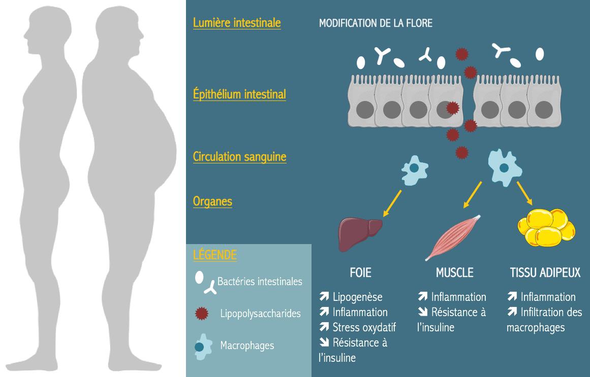 obésité probiotiques minceur