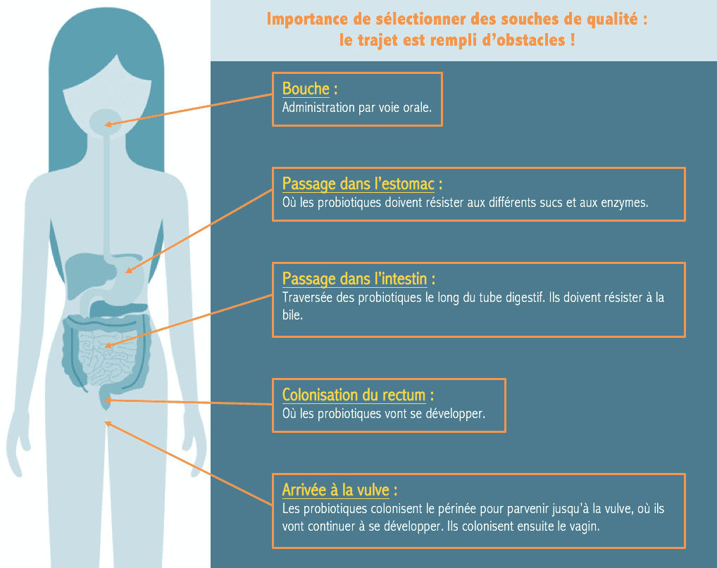 probiotiques microbiote vaginal