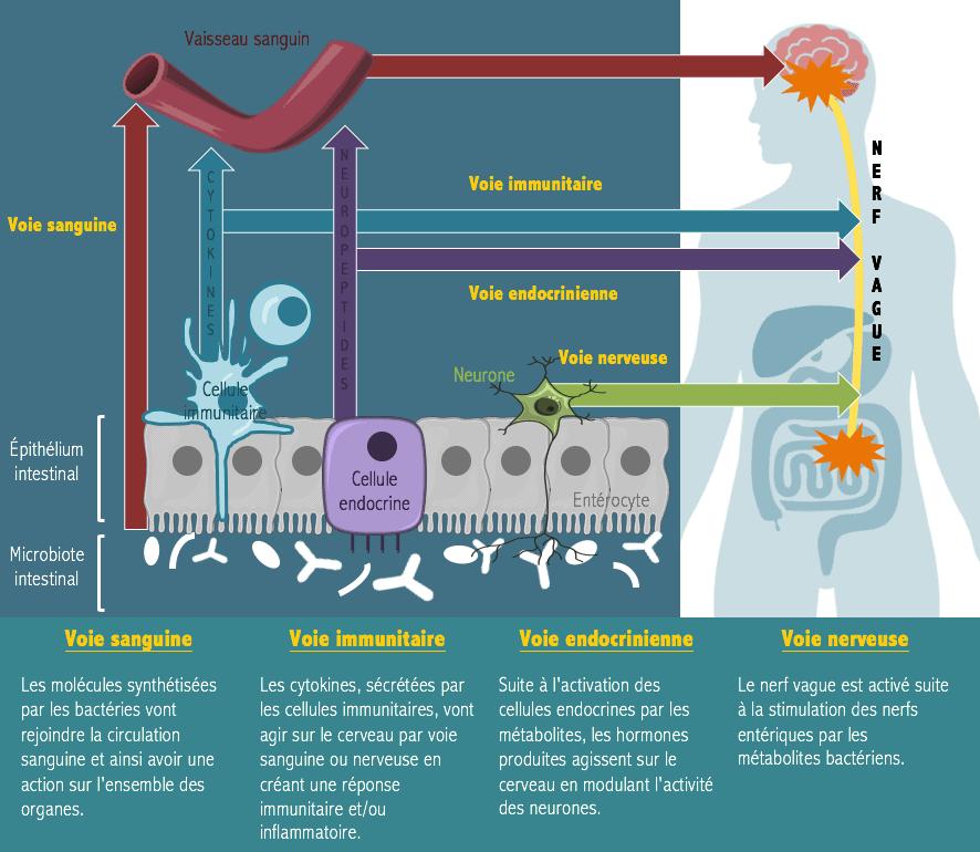 probiotiques cerveau intestin