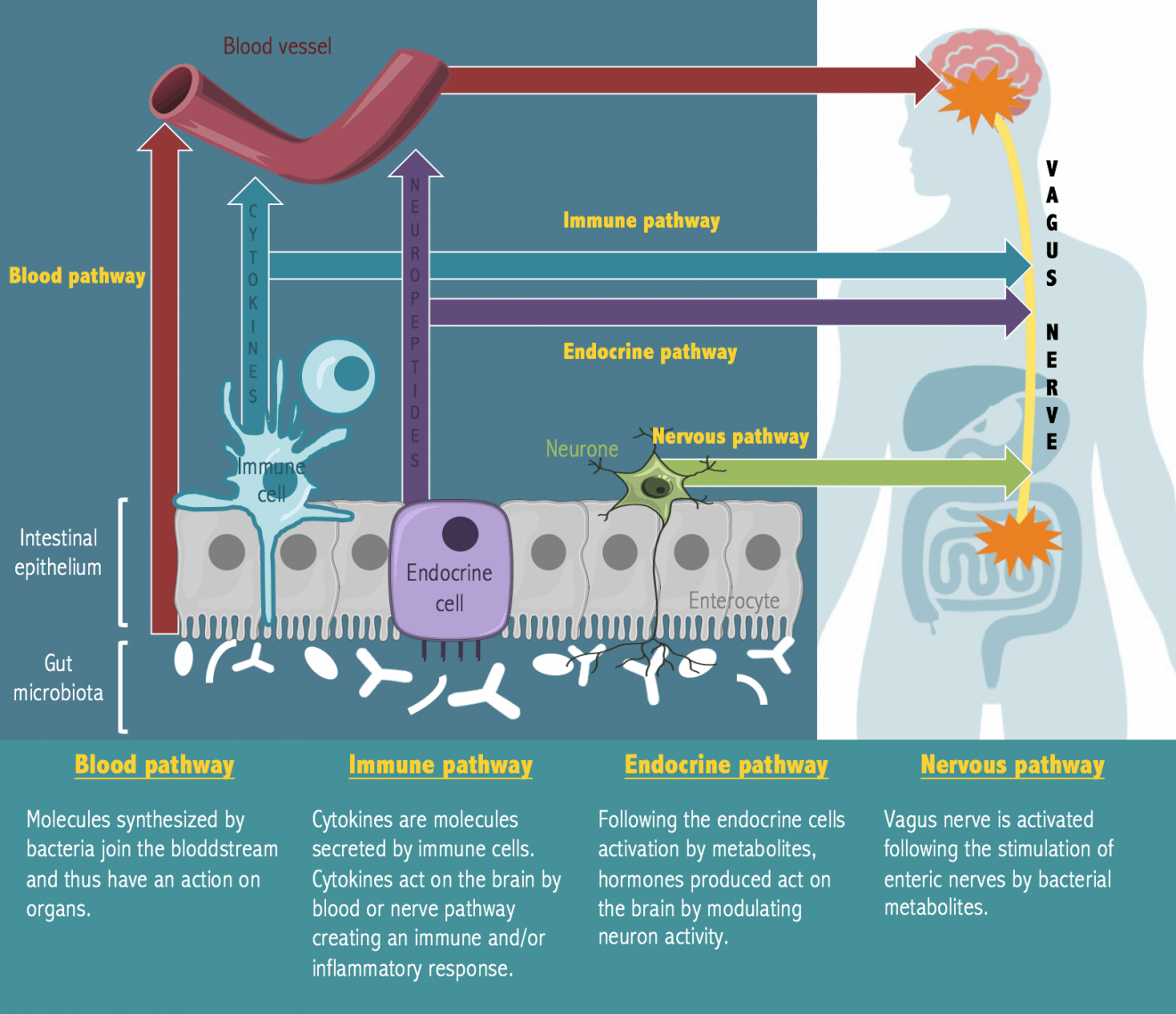 probiotics brain gut