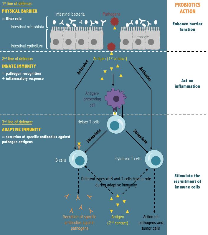 probiotics immunity
