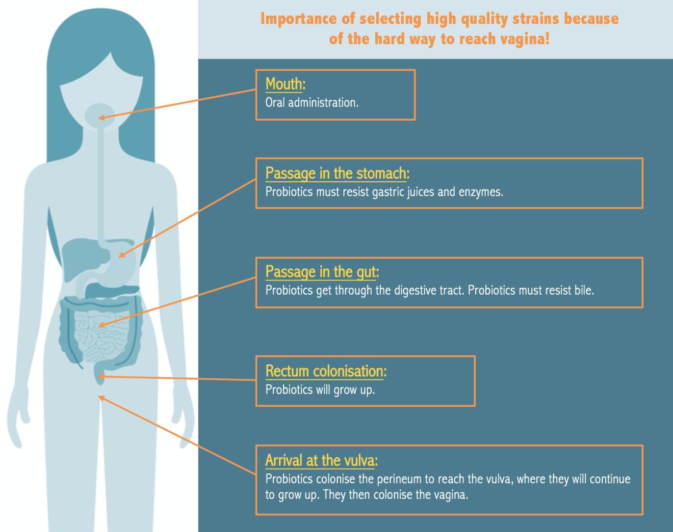 probiotics vaginal microbiota