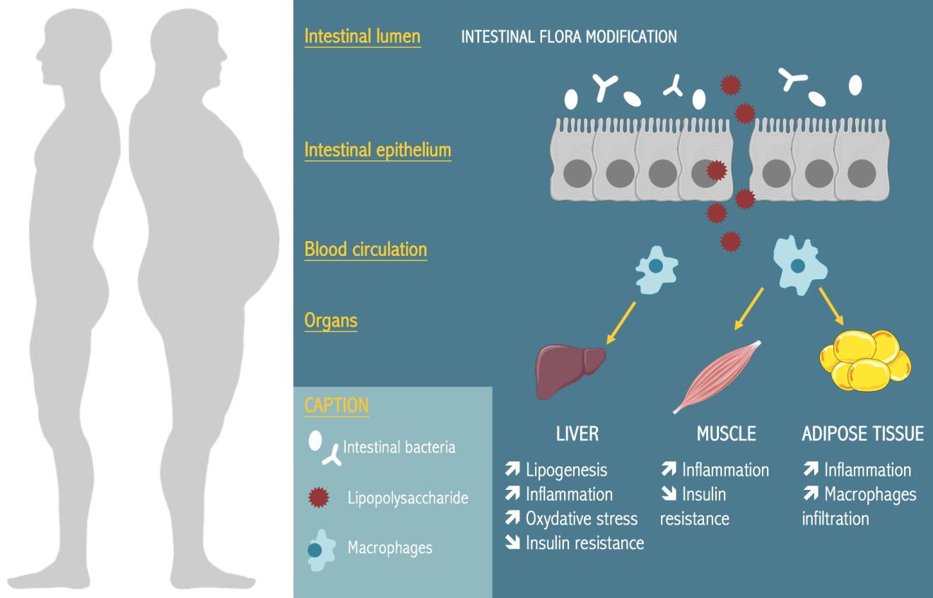 thinness probiotics